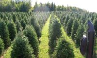christmastreessept052015-004